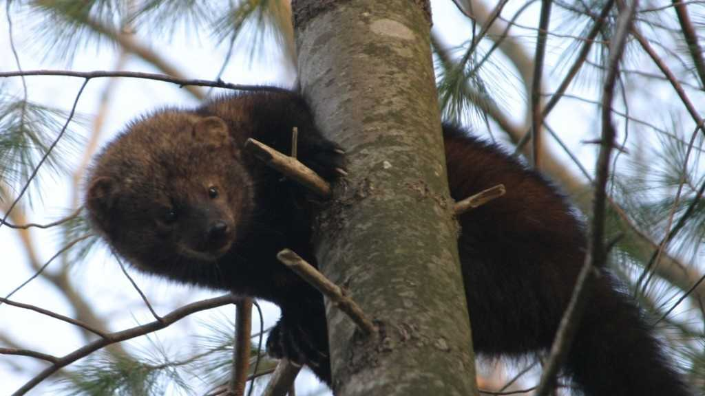 Fisher Cat generic still.jpg