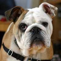 #8 English Bulldog
