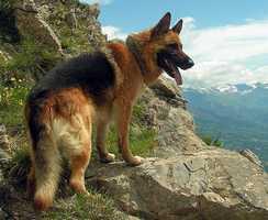 #4 German Shepherd