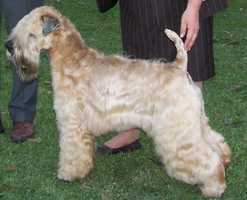 #3 Soft Coated Wheaten Terrier(More common ranking in Massachusetts than anywhere else in North America.)