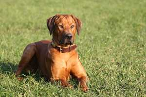 #7 Rhodesian Ridgeback(More common ranking in Massachusetts than anywhere else in North America.)