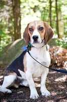 Swift, 2, is a sweet beagle who is pretty easy going and a bit goofy. Swift is crate trained. He seems to get along with most dogs that he meets. Swift is a typical beagle in that he likes to follow his nose. He is an energetic guy who loves to go for walks. Click here for more.