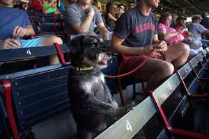 Fenway Park has officially gone to the dogs.... literally!