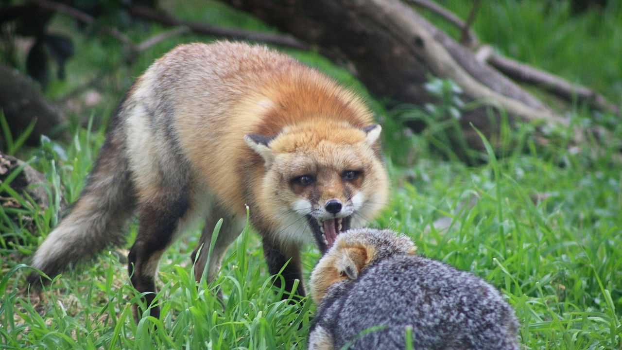 1280px-Red_Fox_vs_Grey_Fox_-_San_Joaquin_National_Wildlife_Refuge.jpg