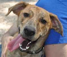 Jack 1 is a beautiful brindle boy. This 1 year old loves playing with dogs and being with people. He has a great energy and would do well in an active home. He is so happy to see people that he will often jump up so a round of obedience training would be great for him! More