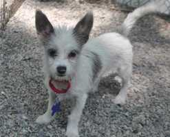 Elsie is a long-haired chihuahua mix puppy who came to us from Louisiana. Since she is so young, she definitely needs a family who has the time and patience to guide her through training classes and house training. More