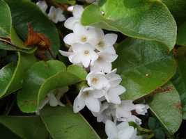 The Mayflower became the Massachusetts state flower in 1918.
