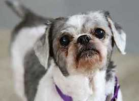Frieda is an adorable 7 year old shih-tzu mix whose owner passed away. She is a sweet, quiet lady who loves to sit next to you! Frieda loves being pet, but really loves getting neck and back scratches. Frieda will need eye medications for the rest of her life. Frieda gets along well with other dogs, but would do best in a home without small children. More info