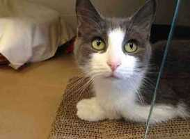 Hazel Grace (pictured) and Agustus are two cuties are totally bonded and in love! They spend all day cuddling in bed together and sharing their meals. Totally adorable! Even better, they love to snuggle together with people! They would do great in almost any home. We would love to see Hazel Grace and Agustus go home together. More info