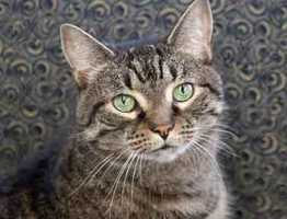 Molly is a lovely pillowy girl who is a little shy at first but once she warms up to you she is a great cat, friendly and playful with everyone. She lived in a quiet home with no children but she delighted everyone she met. More info
