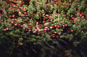The Cranberry is the official Massachusetts State Berry.