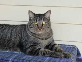 My name is Ollie! I am a 1-year-old male DSH. I am friendly, outgoing, and I love to talk to you! I am good with other cats but I've never lived with dogs. I get along with kids ages 10+. For more information about me, please call, visit, or email the shelter. Buddy Dog Humane Society, Inc. Sudbury, MA (978) 443-6990 or info@buddydoghs.com