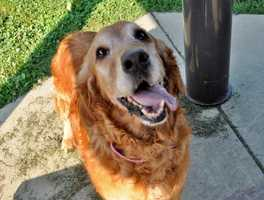 Amber, 11, is a very sweet golden retriever looking for a home to live out her golden years. I came to the MSPCA because my previous family felt like they didn't have enough time to dedicate to me. I'm very social and love just about everyone that I meet, but I'd probably enjoy a quieter home. Unfortunately, I did come in to the adoption center with a mass on my chest. It has since been removed and biopsied and now we are just waiting on the results. More