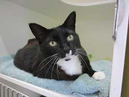 Hello, my name is August. I am a 5 year old black and white shorthaired kitty. I was brought to the adoption center when I was found outside without a home. I am looking for a home where I can become a member of the family and get lots of love and pats. I purr a lot and love to get patted on my head. I get along with other cats and would probably do well with children. More