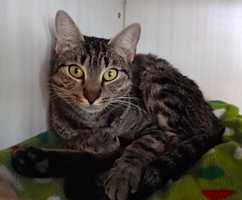 Sweet, petite 2-year-old Bengle loves cheek and back scratches. She has a gorgeous face that you'll just fall in love with. Hard to believe Bengle was recently a mama, as she is practically just a kitten herself. She's ready for her forever home, preferably a lower key, moderate activity place where she can thrive in your affection as an only animal. More