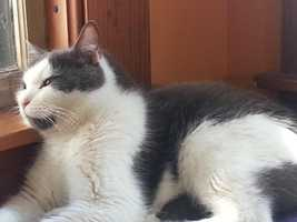 Curtis is a mellow boy that would do best in a quiet home with very few visitors. It may take him a while to get comfortable but once he feels secure he is a very loving kitty who enjoys pets, cuddling and hanging out on your lap. He always uses his litterbox and his scratching post and is not a picky eater. More
