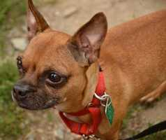Hollie is an 8 year old Chihuahua and French Bulldog mix that would love to find her perfect forever home soon! Hollie is a very sweet dog but can tend to be a little shy so she would need an owner who could understand that. She also would need a little bit of housetraining. She may do well with dogs and cats that are already in your home but she would have to meet them first to make sure they can be friends. Hollie would also do well with teenagers but probably not young kids. More