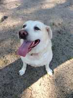 Hello, my name is Jack. I am a 10 year old yellow lab who was brought to the adoption center because my owner didn't have time for me. I am a happy, friendly, playful man who loves to go swimming. I would do best in a home with older children as I am quite large and may knock over smaller children. More