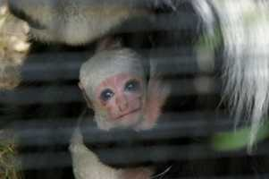 The Stone Zoo welcomed a baby Eastern black-and-white colobus monkey. The baby, born on Sept. 10 to Mahale (mother), age 13, and Isoke (father), age 8, made its exhibit debut a few days later. The sex of the baby is not yet known.
