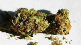 Marijuana plant buds