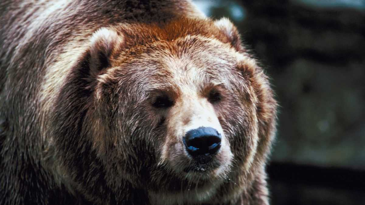 Grizzly Bear GENERIC.jpg