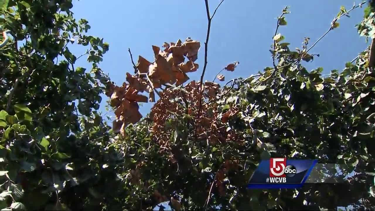 Drought blamed for bringing down trees