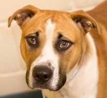 Pharaoh is a stunning 2 year old Boxer American Bull dog mix in search of his forever home. He is a very happy healthy boy who loves to run and play especially with dogs of the same energy level as him. Pharaoh is learning manners and is doing very well, he will need an active family who can commit to his energy level and training. He is very affectionate, loving and likes cuddle, he is just waiting for his new family to show them how incredibly fun and sweet he is. MORE