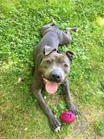 Walter Oliver is always smiling because he knows his forever home is rite around the corner! This 1 year old Pitbull lived a pretty hard life but that does not get him down, he adores people and cannot wiggle his body enough when he meets new people. He does well with other dogs with proper introductions and his larger than life personality may be a little much for small children. Walker Oliver would do great in an active home that can continue with his training, that all young dogs need. MORE