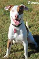Bronx is 2 year old Pit Bull Labrador mix. He is a happy healthy young dog who loves to play! He does great with all types of dogs and loves people. Bronx loves to run, jump, play ball and just have a good time. Bronx is an active fellow and will need a home that can stimulate him mentally as well as physically. This boy is the definition of Fun, Loyalty and Love. MORE