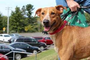 Ginger Shadow. This handsome extremely sweet and loving young man is Ginger Shadow, he is 3 year old Labrador mix. Ginger Shadow and his family were taken in by a kind farmer when he was very young. Therefore he lived a sheltered life. He is a little shy around new people and experiences but he is quickly learning that new things are not so bad. His foster family says that he is making great strides and would do great in a quiet and patient home that can help guide him out of his shell. MORE