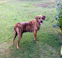 Holy Moses is your sad typical story of being left behind by humans. He was discovered by a Good Samaritan along with his friend Leviathan. Moses is approximately a year Plott hound mix. Holy Moses does great with other dogs and he is working very hard with his foster family to trust humans again. He is doing very well socializing but naturally Holy Moses is a little shy at first. This handsome guy is very sweet and is going to make an amazing canine companion. We believe that he should be adopted in a home with another dog to show him the ropes and learn some confidence from a well-established friendly canine sibling. MORE