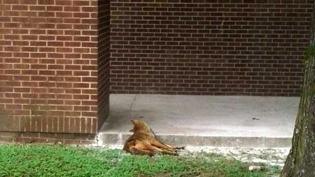 Coyote remains in French Quarter
