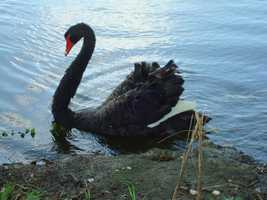 New Orleans City Park said its lone black swan was attacked sometime between Friday and Saturday.