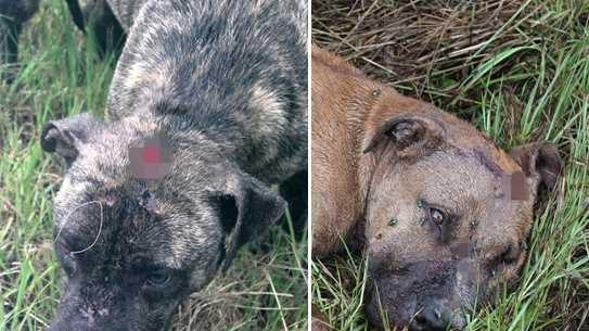 Pit bulls shot, abandoned in Washington Parish