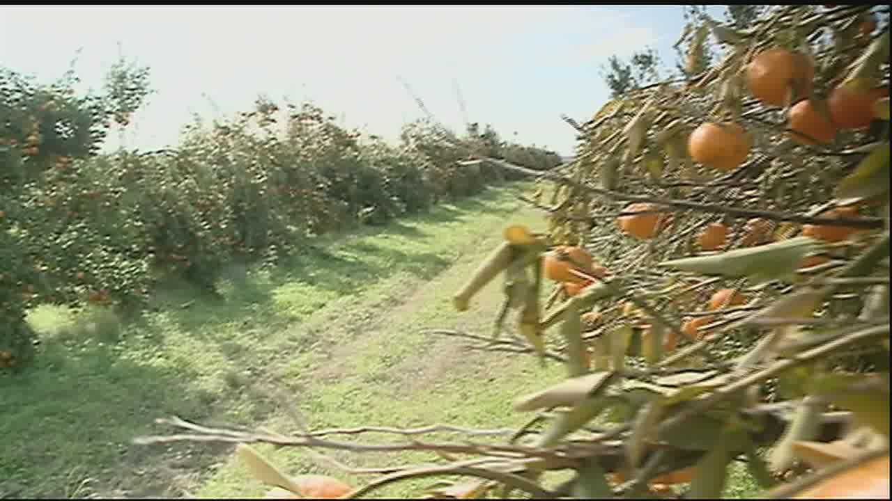 Damages are adding up for citrus farmers in Plaquemines Parish following several night of freezing temperatures.