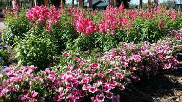 This is a great time of the year to plant your fruit trees, other trees, rose bushes and spring flowers. Keep in mind, our Spring growing season generally does not last long.