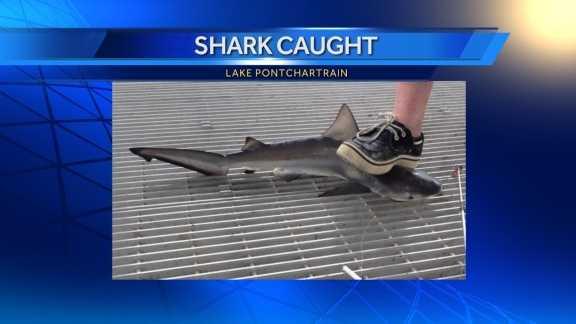 Shark Caught LP.jpg