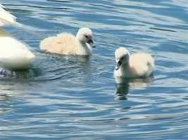 Baby swans, called cygnets, float around in Lake Eola.