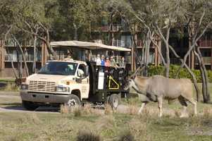 Guests can take a safari tour of the grounds at the Animal Kingdom Lodge.