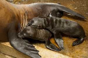 Sea lions usually give birth to only one pup at a time, so animal experts say twins are rare.