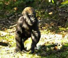 Lilly is an endangered western lowland gorilla who was born at Disney's Animal Kingdom. Lilly is much smaller than other gorillas her age, and she was delayed in achieving typical baby gorilla milestones, like grasping, rolling over and crawling.  But is now going through therapy to advance.