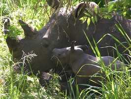 A white rhino named Nande, born at Disney's Animal Kingdom 12 years ago, gave birth to a healthy female calf at the Ziwa Sanctuary in Uganda.