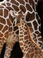 Bonsu is the eleventh giraffe overall to be born at Disney's Animal Kingdom.  He was the fourth giraffe to be born in 2008.