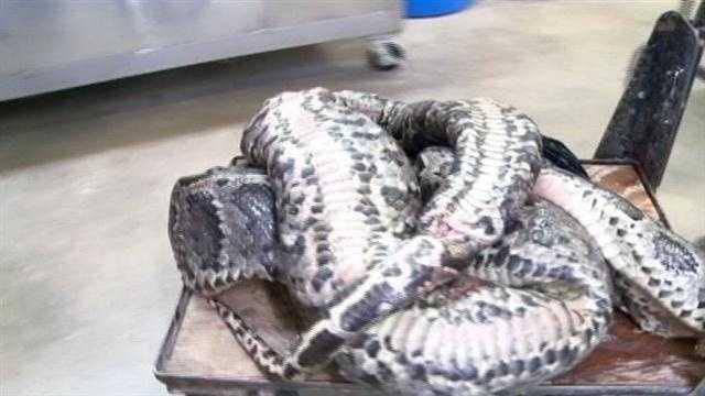 UF studies biggest python found in Florida