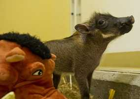 Real-life Pumbaas, warthogs, were born in March.  The piglets, three males and two females, weighed just over two pounds at birth.