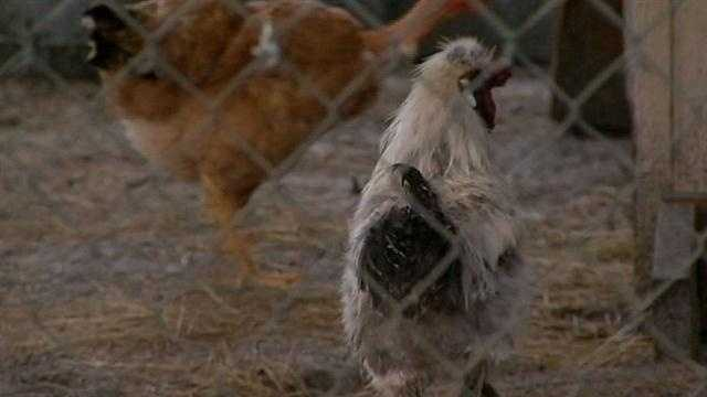 Family fights to keep chickens