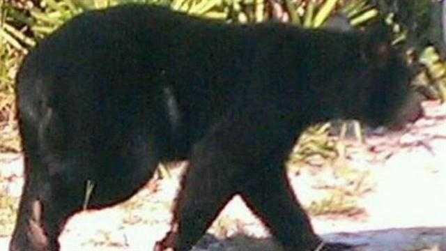 Stalking BEar