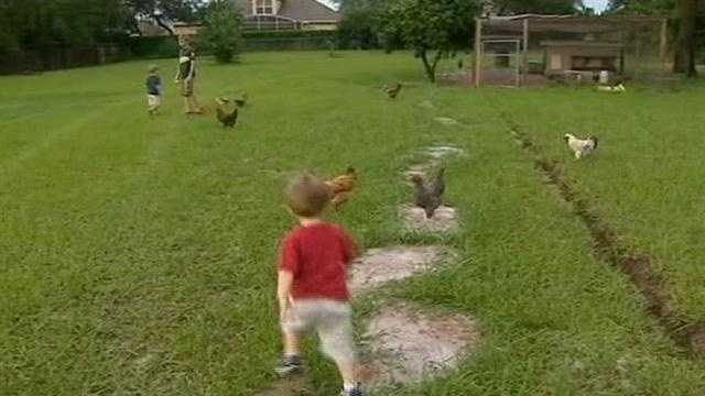 Family hires lawyer to help keep chickens