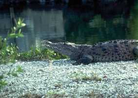 See Florida's 62 species listed as threatened or endangered by the U.S Fish and Wildlife Service, including the threatened American crocodile.ENDANGERED - any species that is in danger of extinction throughout all or a significant portion of its range.THREATENED - any species that is likely to become an endangered species within the foreseeable future throughout all or a significant portion of its range.