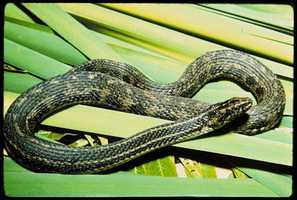 Atlantic salt marsh snake - THREATENED
